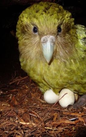 Le CODA renouvèle son amour pour le Kakapo