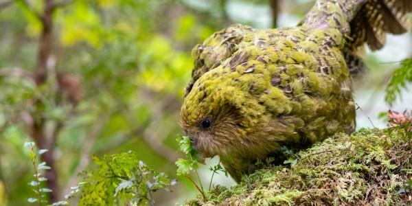 La saison des amours des Kakapos va commencer